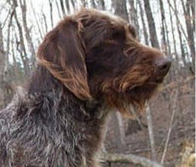 Deer hunting dog breeds - photo#2